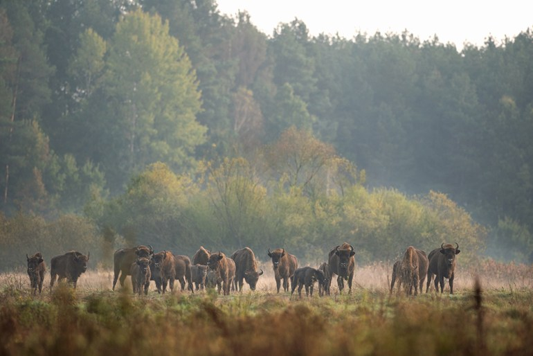 European bison in the Białowieża National Park Poland