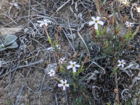 Wild flowers in the Bontebok National Park