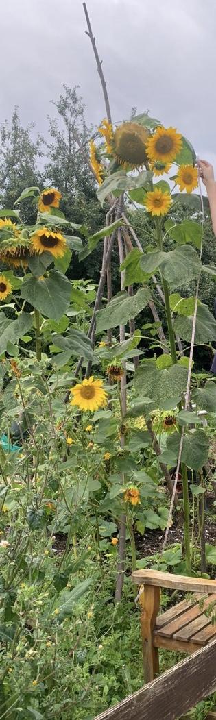 "Tallest Sunflower: Wellgate Community Farm (2.25m / 7'4"")"
