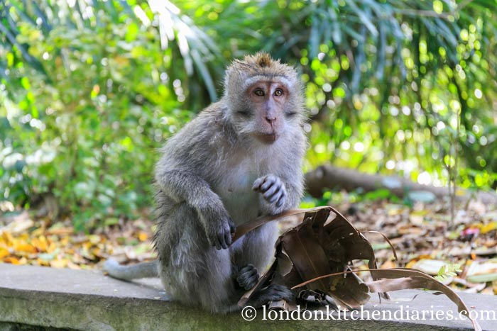A monkey at Sacred Monkey Forest Sanctuary Ubud Bali