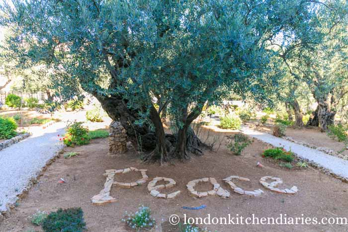 Olive trees in the Garden of Gethsemane Jerusalem