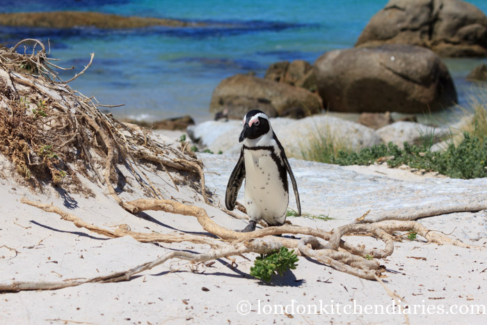 Penguin at Boulders Beach South Africa