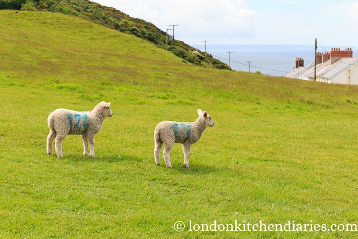 Sheep at Mortehoe North Devon