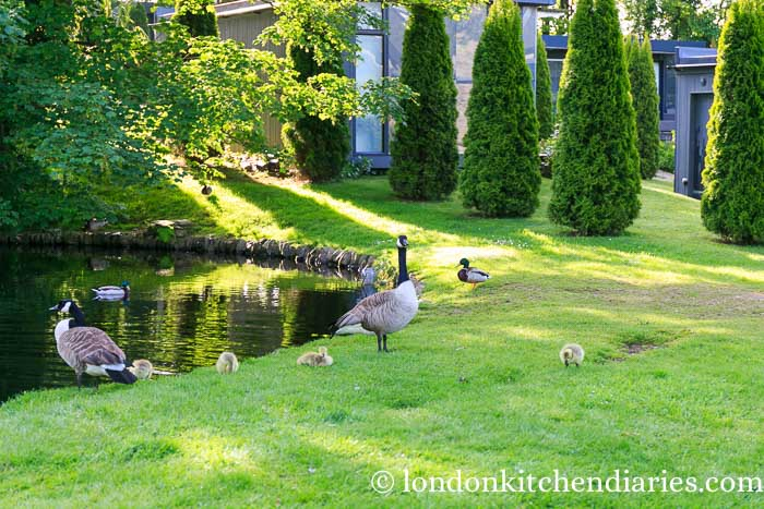 Duck and Geese Family at Kentisbury Grange