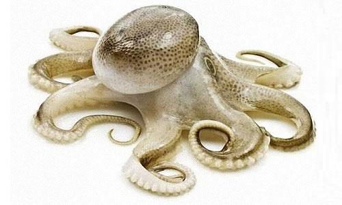 Webfoot octopus (주꾸미)