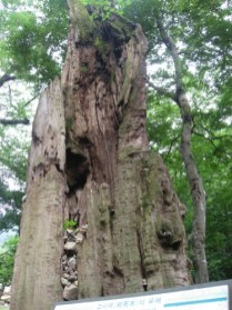 The stump of an ancient Zelkova tree at Haeinsa