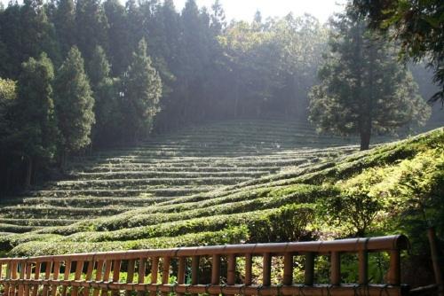Tea slopes 2