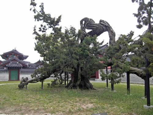 Natural Monument #194: an ancient Chinese Juniper