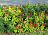 Celosia give late summer colour
