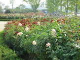 The Suncheon Rose Garden is still managing some blooms