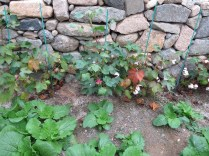 Cotton plants growing in the doctor's garden