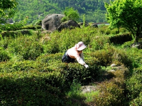 Tea-picking in Hwagae