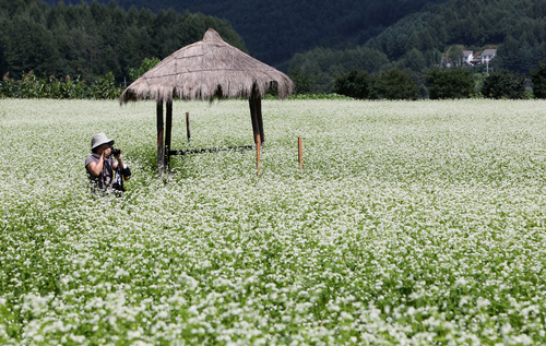 Buckwheat season in Bongpyeong