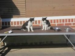 The Wangrimsa temple cats
