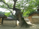 The zelkova tree in the tomb-keeper's house