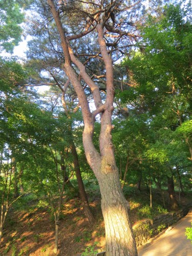 연리지 tree on Busosan