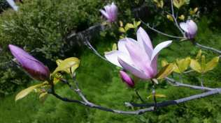 One of Chollipo's famous magnolias