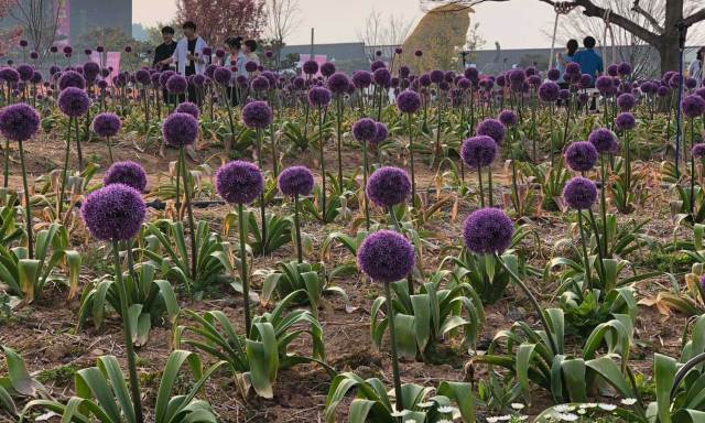 Alliums in Korea Flower Park