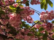 Pink cherry blossom at Gaesimsa