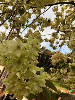 The Gaesimsa blue cherry blossom tree (청벚꽃)
