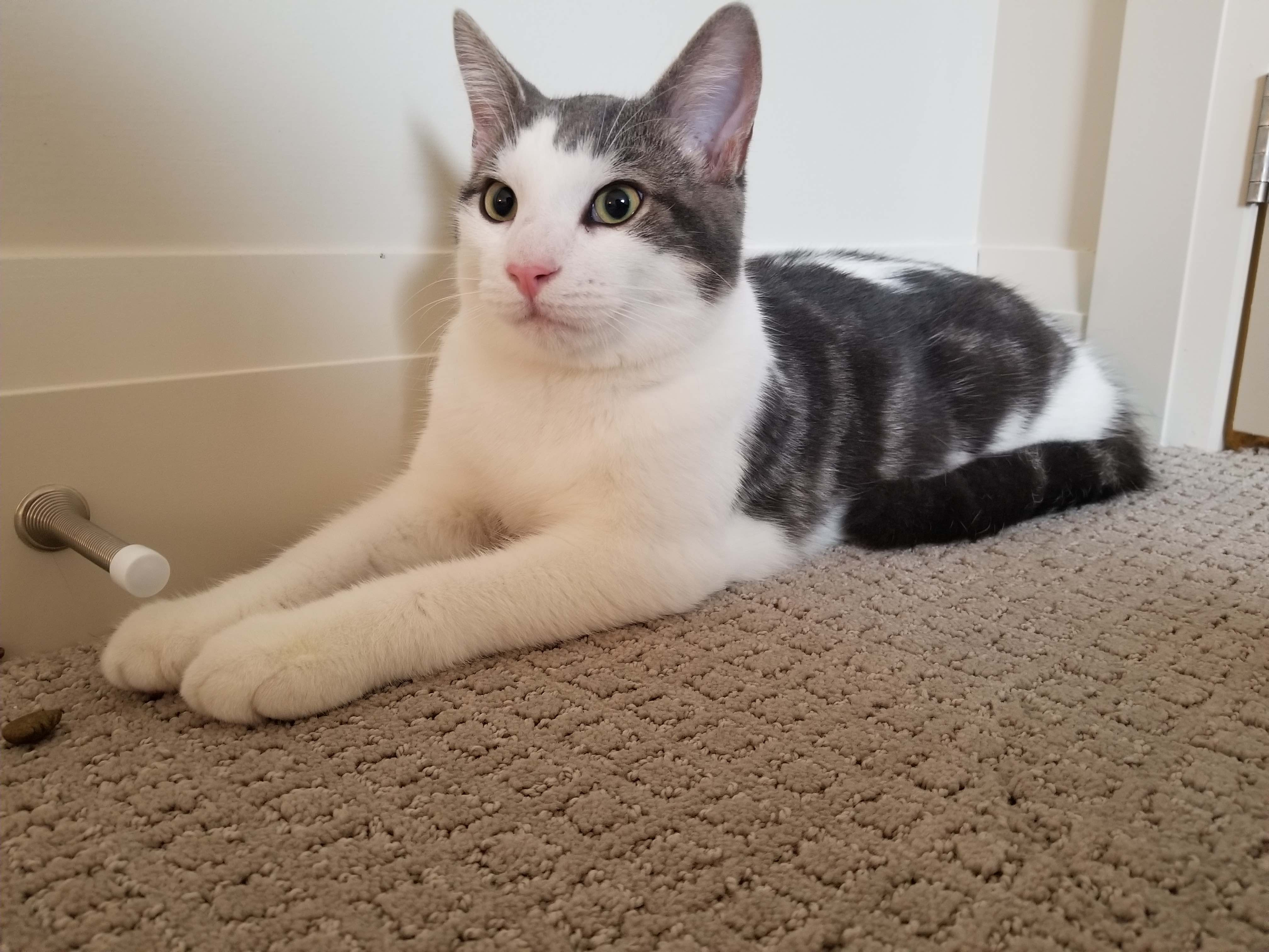Found Male Cat Grey Tabby With White Shorthair London Lost Pets