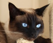 Siamese-cat_11111[1]