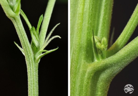 branch structure of female plant is quite distinct from the male