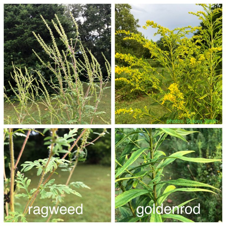 Ragweed VS Goldenrod