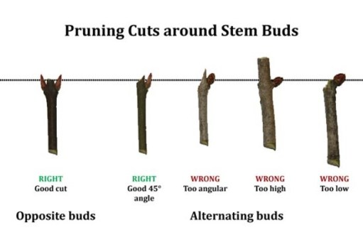 prune above the node or bud