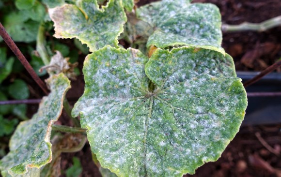 Ugly leaves may mean disease -Onions, Cucumber, Melons, Tomatoes and more!