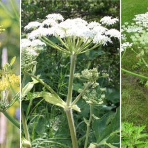 Invader of the month – Wild Parsnip