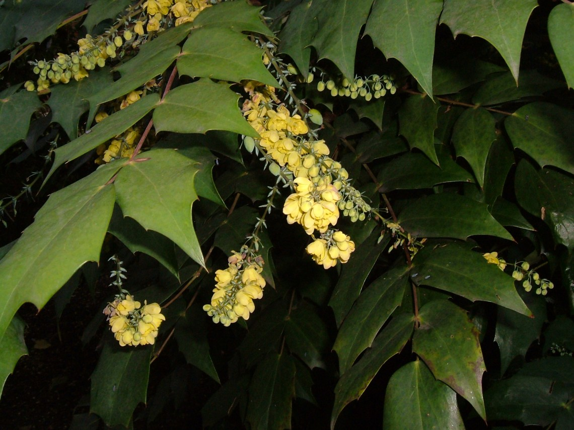 Mahonia in the churchyard of St Anne's