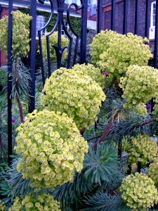 The euphorbias still in bloom