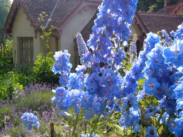 Delphiniums in the cottage garden