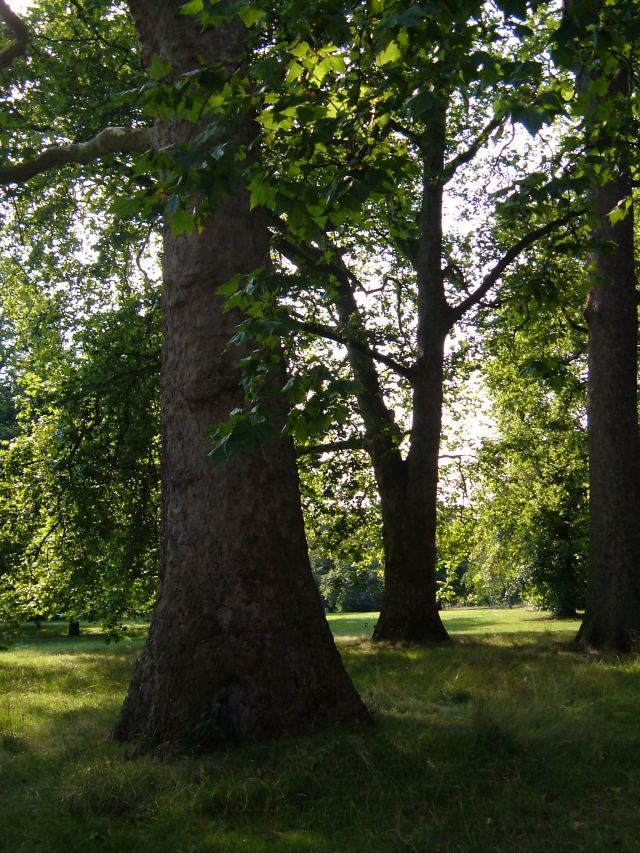 Old trees in Hyde Park