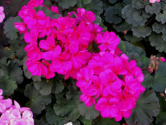 Geraniums outside flats near Red Lion Square