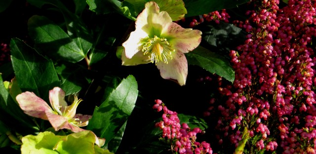 Hellebores & Heather