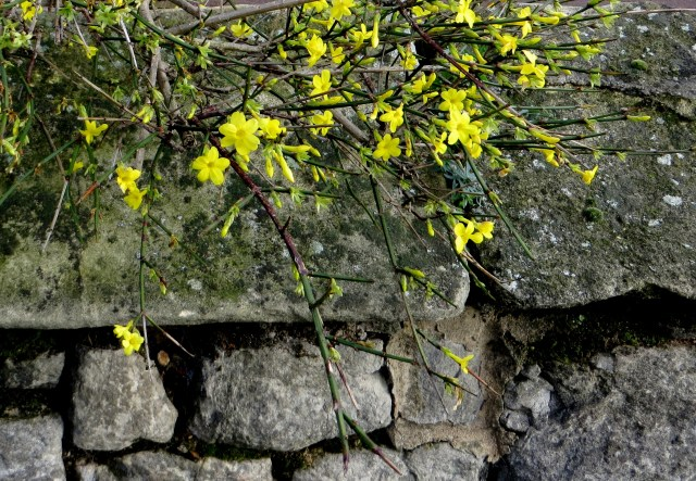 Winter-flowering jasmine