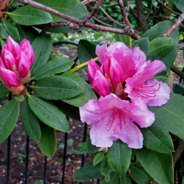 Greenwich Park – the pink rhododendrons