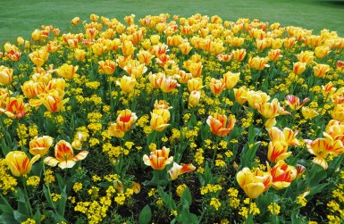 Yellow tulips in Greenwich Park
