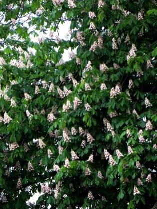 Chestnut Trees in Greenwich Park