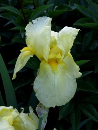 Gold iris in Greenwich Park