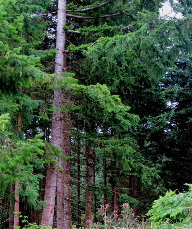 Douglas Pine Trees