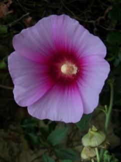 Hibiscus in the Mediaeval garden