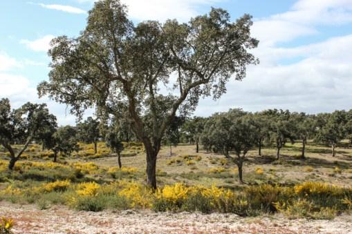 Cork oaks and gorse in the Alentejo