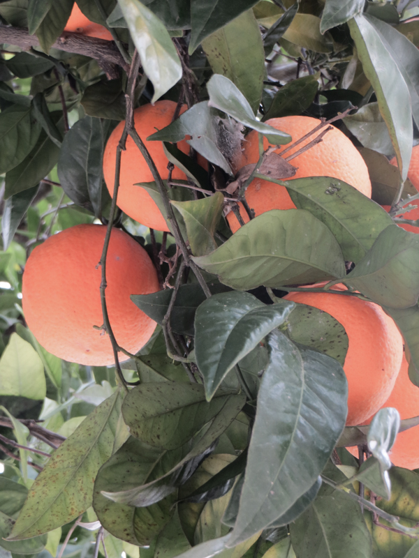 Orange trees in Vila Vicosa