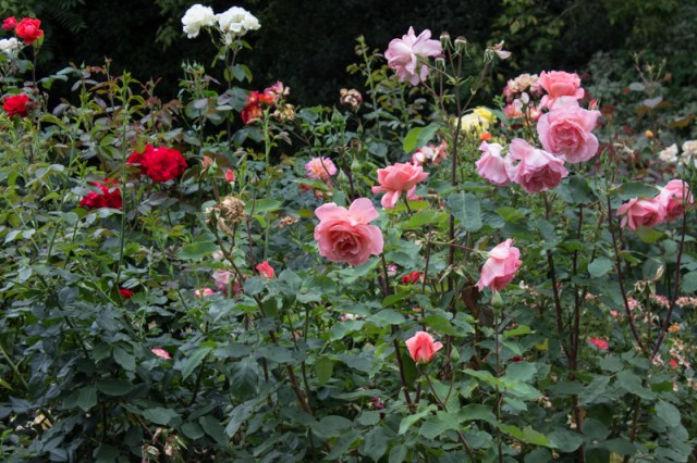 The roses in Southwark Park
