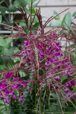 Miscanthus 'Ferne Osten' & Cleome