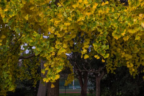 Gingko Biloba still in leaf