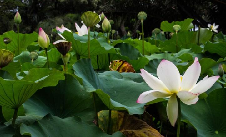 The Lake in the Durban Botanic Gardens
